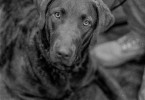 gundogs_copyright-peter-weissboeck0134