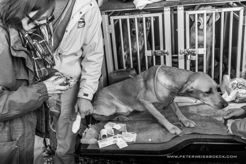 gundog_bad_aussee_2015_copyright_peter_weissboeck0027