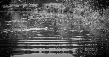 gundog_bad_aussee_2015_copyright_peter_weissboeck0032