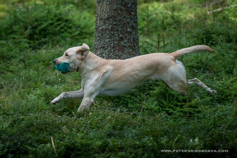 gundog_karlstift_2015_copyright_peter_weissboeck0054