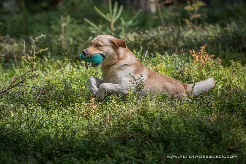 gundog_karlstift_2015_copyright_peter_weissboeck0060