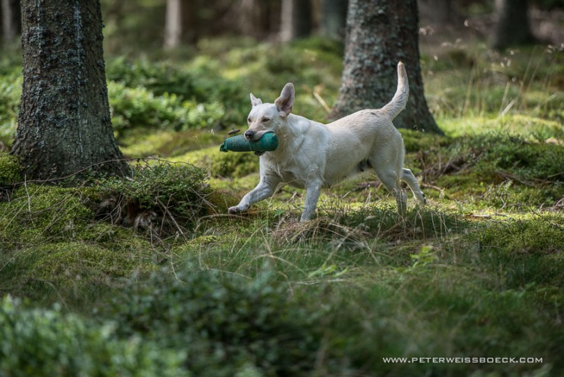 gundog_karlstift_2015_copyright_peter_weissboeck0065