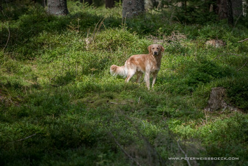 gundog_karlstift_2015_copyright_peter_weissboeck0067
