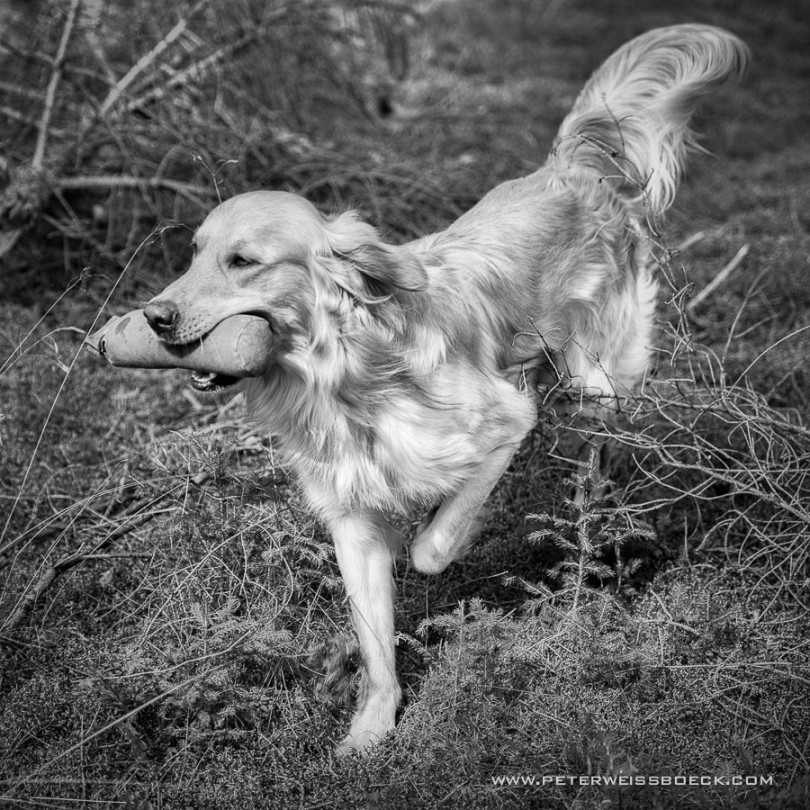 gundog_karlstift_2015_copyright_peter_weissboeck0069