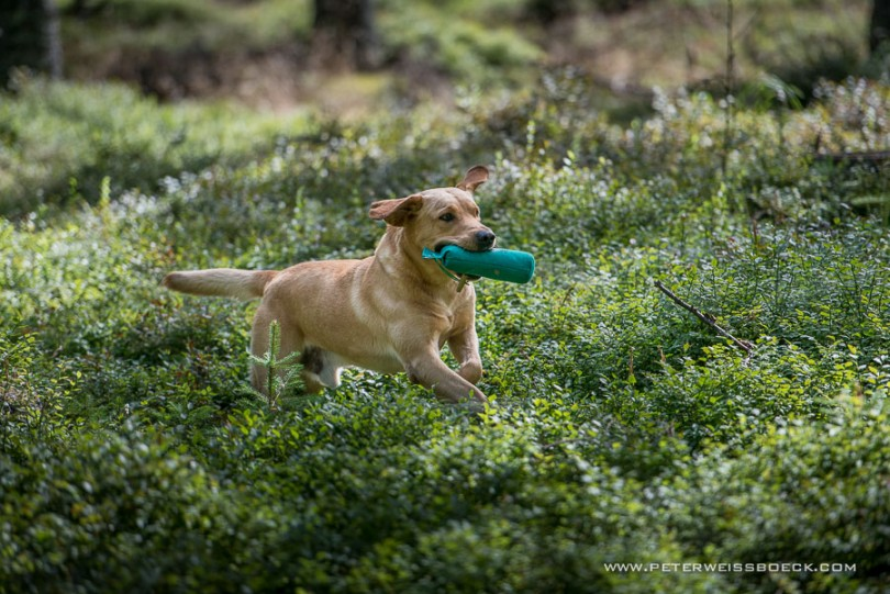 gundog_karlstift_2015_copyright_peter_weissboeck0074