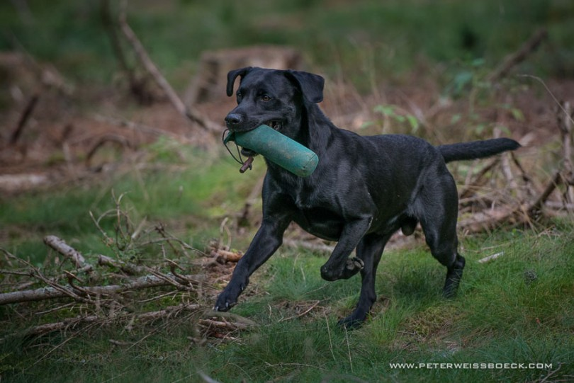 gundog_karlstift_2015_copyright_peter_weissboeck0104