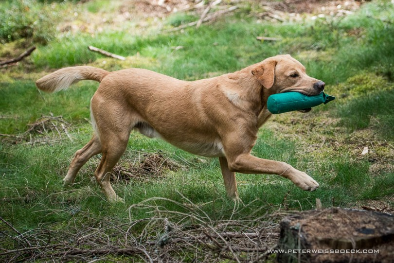 gundog_karlstift_2015_copyright_peter_weissboeck0107
